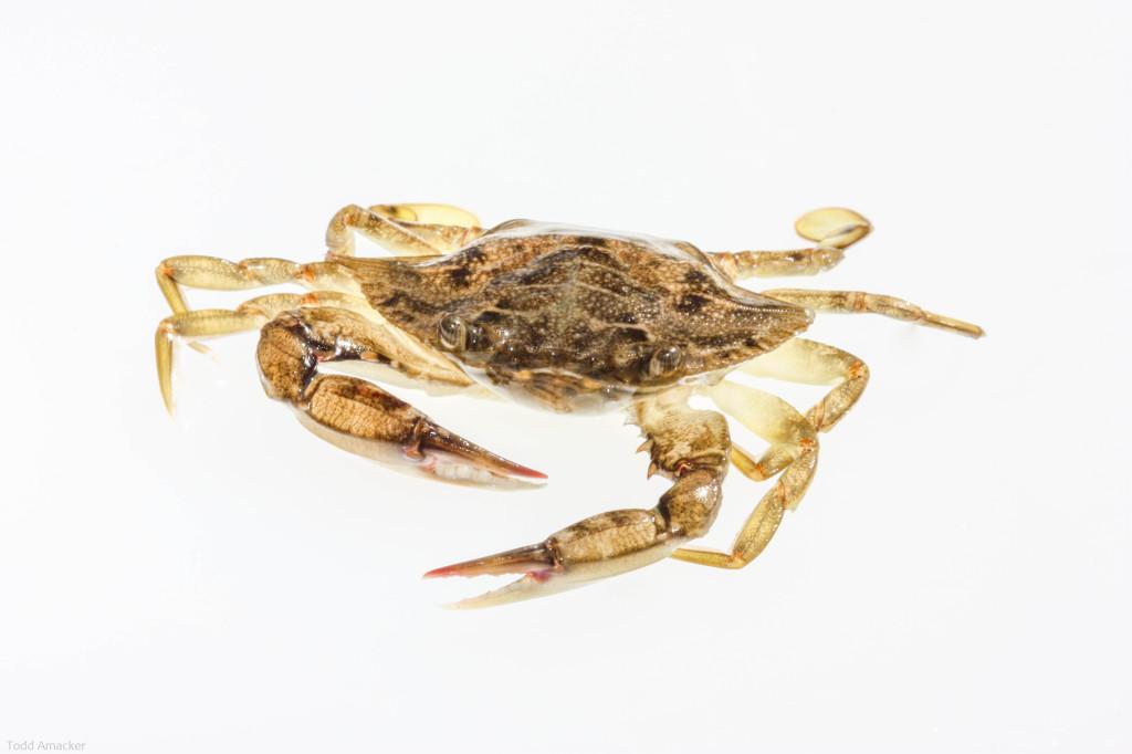Bream Fishermen Crab