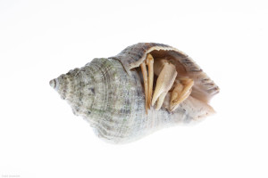 Bream Fishermen Shell